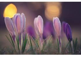 地球,藏红花,花,自然,巨,花,紫色,花,水,滴,壁纸,图片