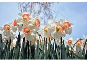 水仙花,花,花,白色,花,壁纸,(4)图片