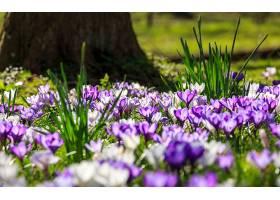 地球,藏红花,花,自然,花,紫色,花,白色,花,弹簧,壁纸,图片