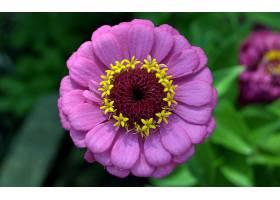 地球,花,花,百日草属植物,紫色,花,壁纸,图片