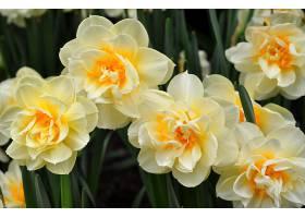 水仙花,花,花,白色,花,壁纸,图片