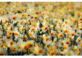 水仙花,花,花,白色,花,自然,壁纸,图片