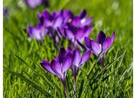 地球,藏红花,花,自然,花,紫色,花,草,巨,壁纸,图片