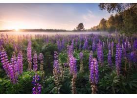 地球,狼的,自然,日出,花,紫色,花,壁纸,图片