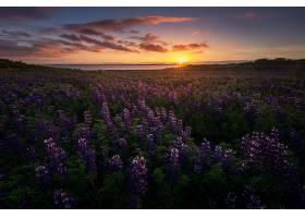 地球,狼的,自然,花,夏天,紫色,花,日出,壁纸,图片