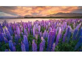 地球,狼的,自然,花,紫色,壁纸,图片