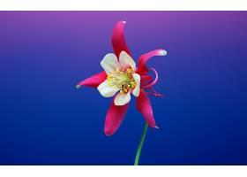 地球,耧斗菜,花,花,阿基列亚,粉红色,花,壁纸,图片