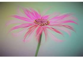 花,粉红色,花,壁纸,(1)