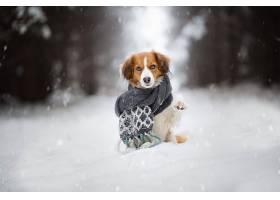 狗,狗,宠物,凝视,冬天的,深度,关于,领域,雪,围巾,壁纸,