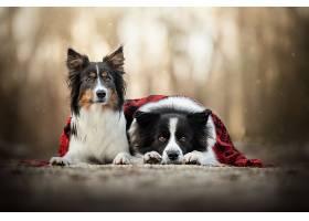 狗,狗,宠物,深度,关于,领域,边界,牧羊犬,壁纸,