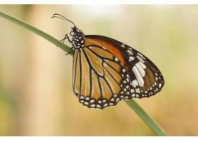 蝴蝶,老虎,蝴蝶,壁纸,(1)