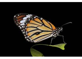 蝴蝶,老虎,蝴蝶,壁纸,