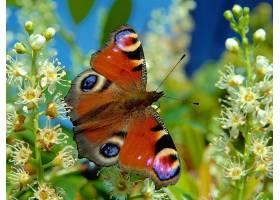 蝴蝶,花,壁纸,(2)