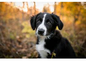 边界,牧羊犬,狗,狗,宠物,婴儿,动物,小狗,深度,关于,领域,壁纸,(1