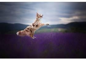 边界,牧羊犬,狗,狗,宠物,淡紫色,深度,关于,领域,壁纸,