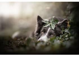 边界,牧羊犬,狗,狗,宠物,深度,关于,领域,壁纸,
