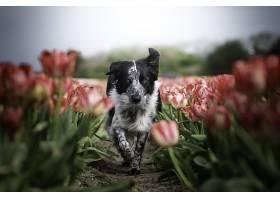 边界,牧羊犬,狗,狗,宠物,深度,关于,领域,郁金香,花,壁纸,