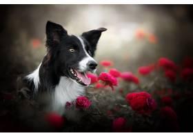 边界,牧羊犬,狗,狗,宠物,玫瑰,花,壁纸,