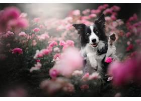 边界,牧羊犬,狗,狗,宠物,花,壁纸,(1)
