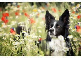 边界,牧羊犬,狗,狗,宠物,花,壁纸,