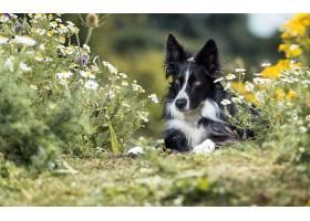 边界,牧羊犬,狗,狗,宠物,花,深度,关于,领域,壁纸,
