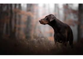 道伯曼,Pinscher,狗,狗,宠物,深度,关于,领域,壁纸,