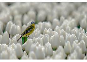 金丝雀,鸟,野生动植物,郁金香,花,白色,花,壁纸,