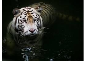 白色,老虎,猫,壁纸,(1)