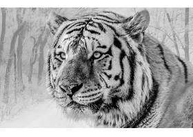 白色,老虎,猫,壁纸,