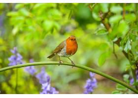 知更鸟,鸟,雀形目,鸟,野生动植物,深度,关于,领域,壁纸,