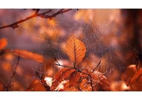 蜘蛛,网,水,滴,巨,叶子,秋天,深度,关于,领域,壁纸,