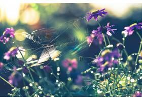 蜘蛛,网,花,紫色,花,Bokeh,深度,关于,领域,壁纸,