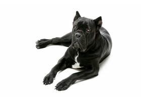 胸部有白毛的黑狗