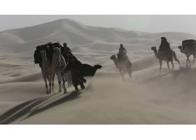 电影,女王,关于,沙漠,骆驼,壁纸,