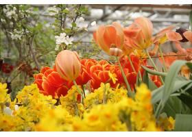 许多美丽的红黄郁金香和水仙花_1099040101