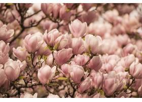 阳光下开满鲜花的木兰树特写_1204550101