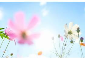 阳光下的宇宙花朵_121167001