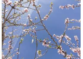 阳光和蓝天下樱花的低角度特写_1106217401