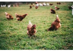 阳光明媚的一天农场草地上的小鸡拍得很漂_997050401