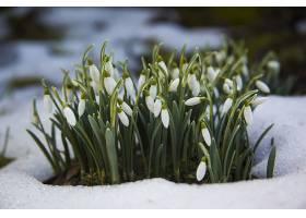 雪地里可爱的白色雪莲花春天的开始_1037620501
