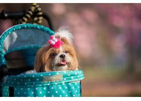 鲜花盛开的粉色公园里美丽的狮子狗春天画像_559810201