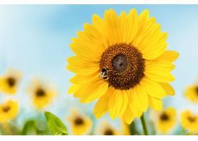 向日葵上坐着一只蜜蜂的特写镜头_1072065301