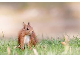 森林中红松鼠的选择性对焦拍摄_1167808801