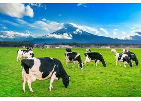日本富士山前的绿地上奶牛在吃郁郁葱葱的_1082448001