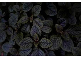 深紫色叶子的俯视图边缘为绿色_1106214801