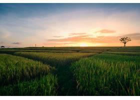 在仓谷巴厘岛拍摄的日出时绿色田野的美丽景_1018669301