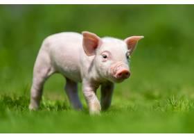新生的小猪躺在春绿的草地上_1101186501