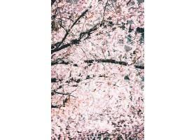 在明亮的天空映衬下美丽的树枝上开着樱花_1120638801