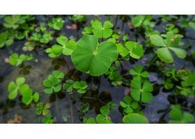 水中生长的三叶草的特写镜头_1204544301