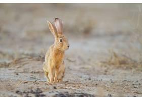 沙漠中央可爱的小棕兔_875343601